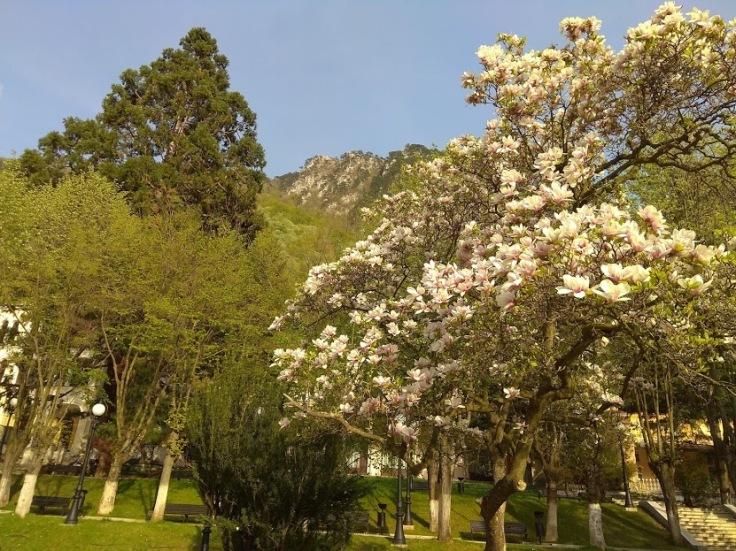 magnolie si sequoia